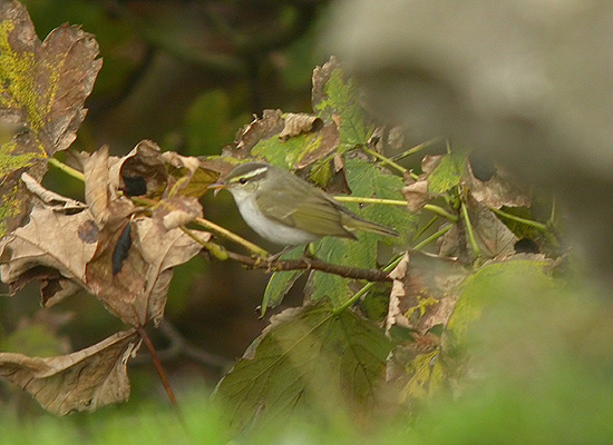 Eastern Crowned Warbler. Photo: Craig Shaw.
