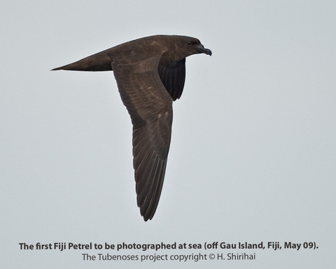 The first photographically documented and confirmed at-sea record of the Fiji Petrel, off Gau, Fiji. Photo: Hadoram Shirihai © Copyright, Tubenoses Project