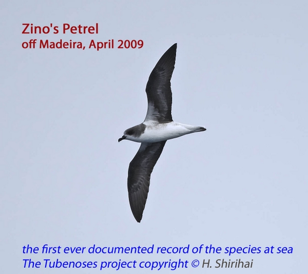 The first photographically documented at-sea record of the Zino's Petrel, off Madeira, Portugal. Photo: Hadoram Shirihai © Copyright, Tubenoses Project