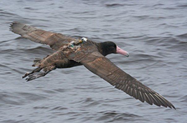 Short-tailed Albatross. Photo: Alvaro Jaramillo.