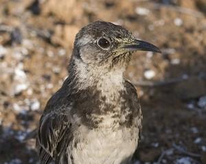 Floreana Mockingbird. Photo: Paquita Hoeck