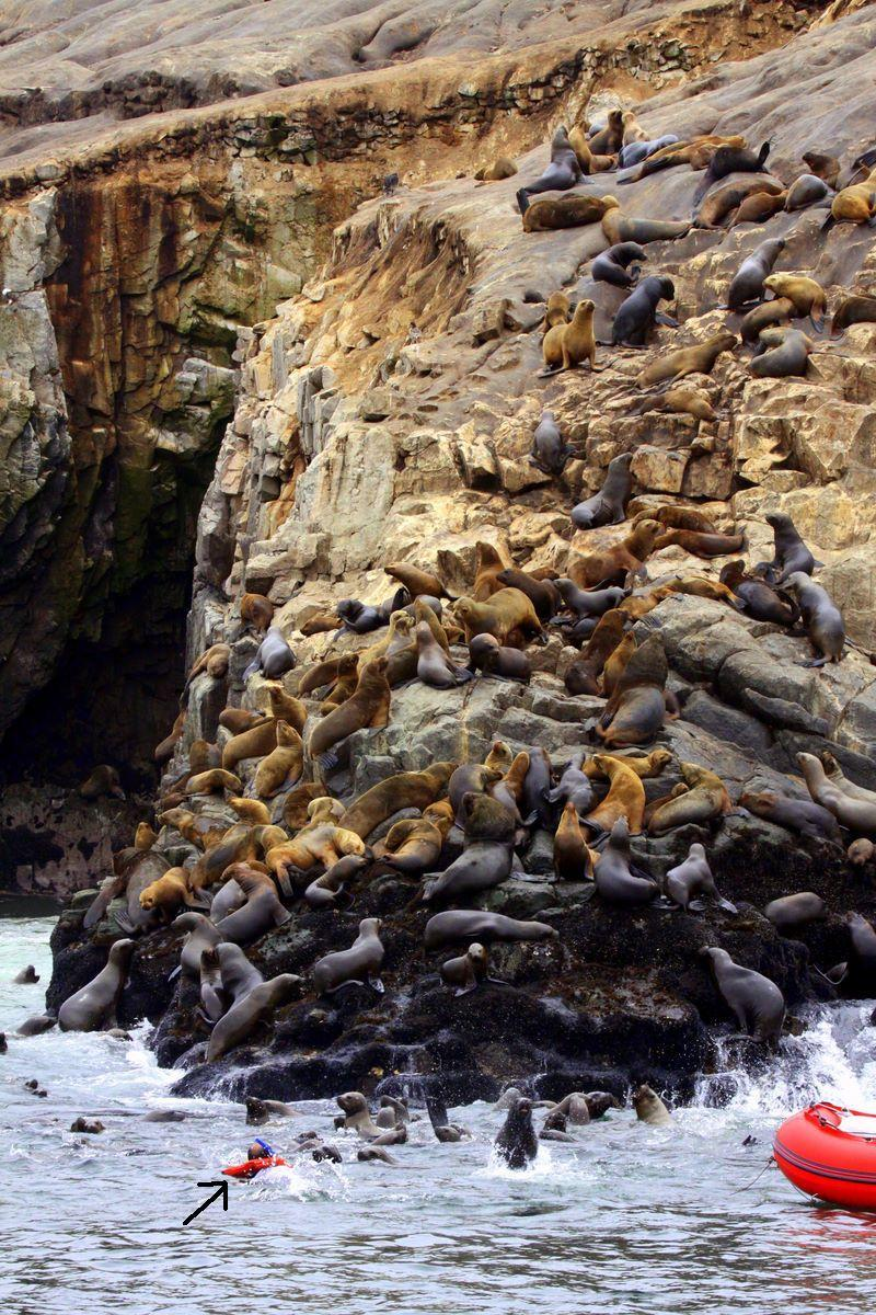 Sooner or later someone's going to die! Sealions and swimmer at Palomino. Photo: Gunnar Engblom