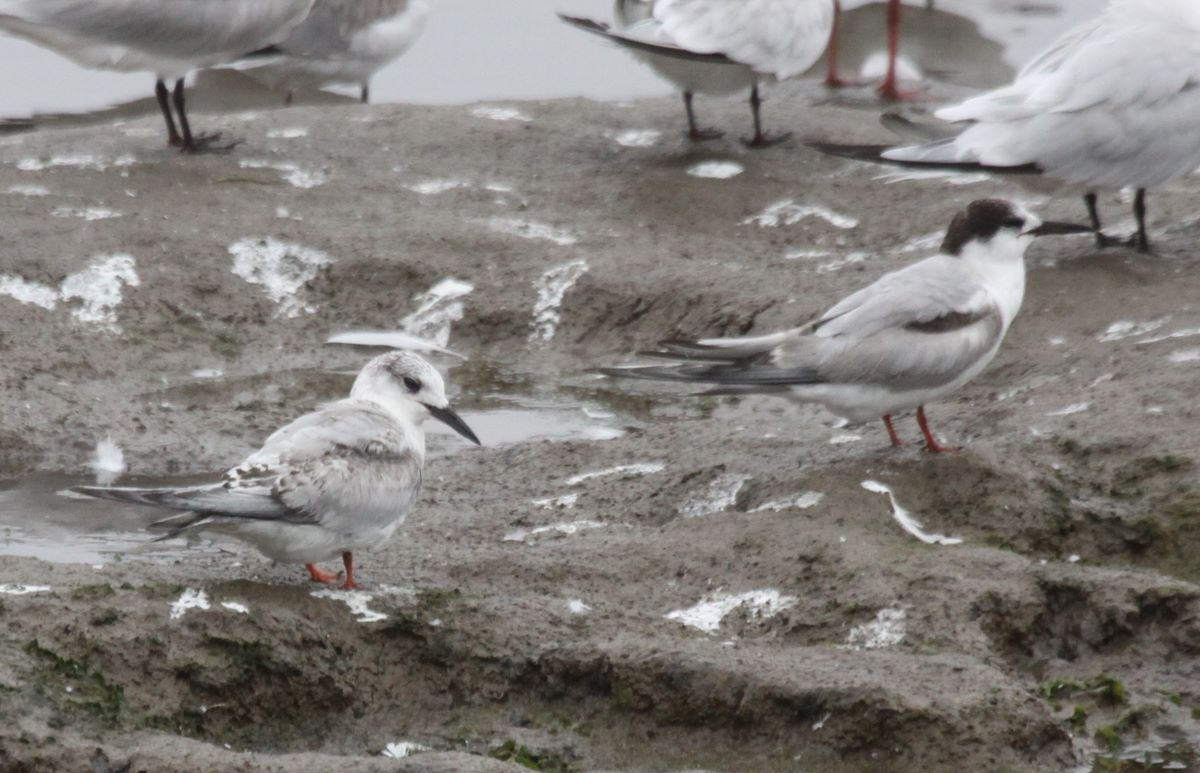 South American Tern juv and Common Tern