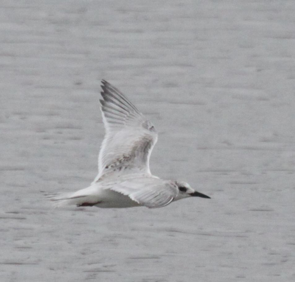 South American Tern Immature in flight.