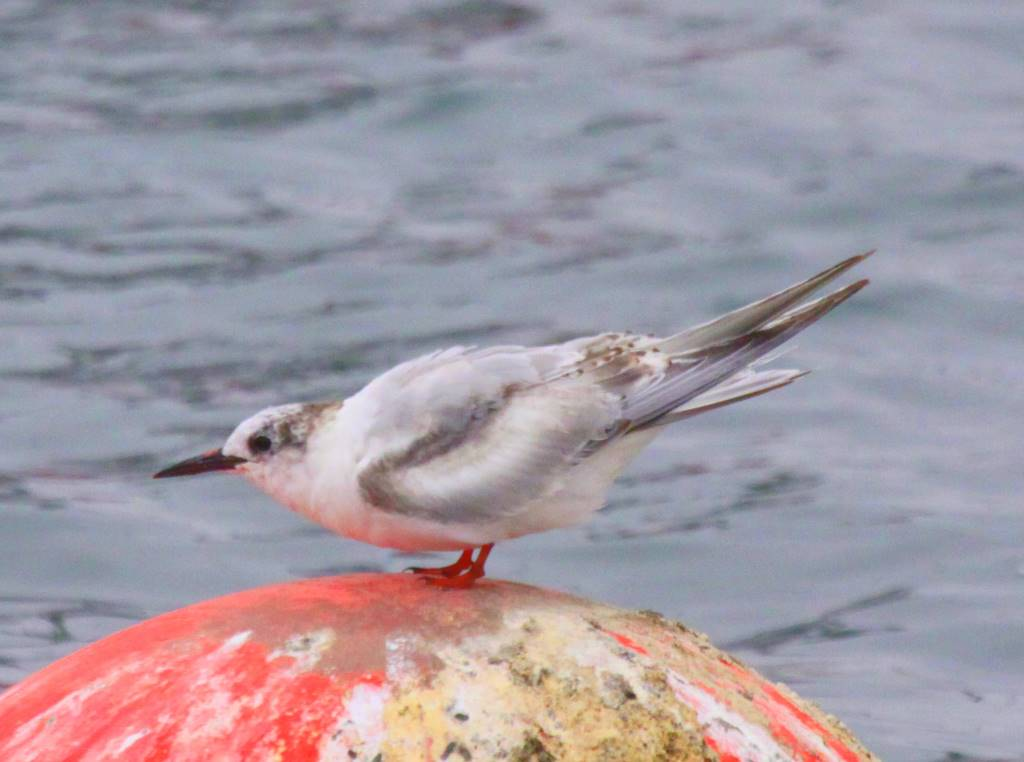 South American Tern. Immature with some juvenil scapulars retained