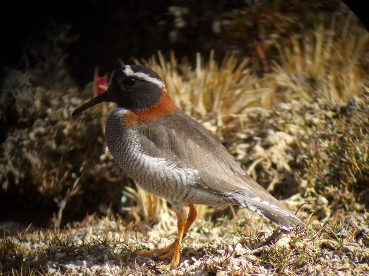 Diademed Sandpiper Plover Phegornis mitchellii at Milloc Bog, Lima
