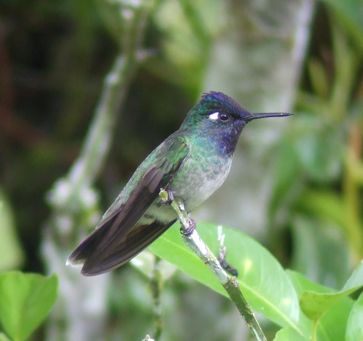 Violet-headed Hummingbird. Photo: Alex Durand
