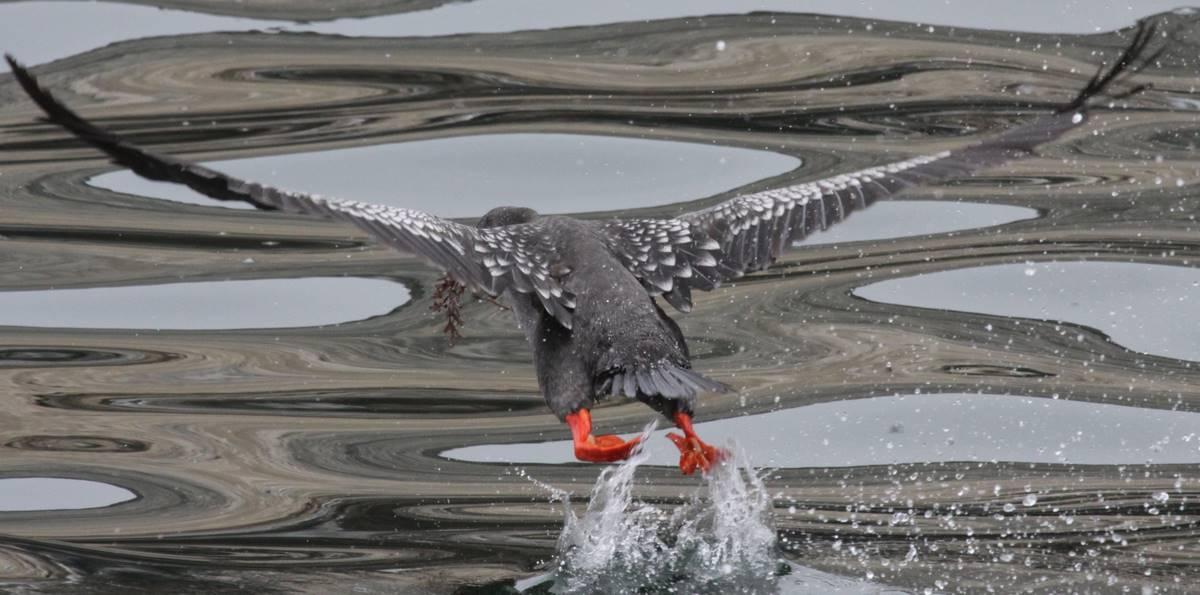 Red-legged Cormorant. Photo: Gunnar Engblom