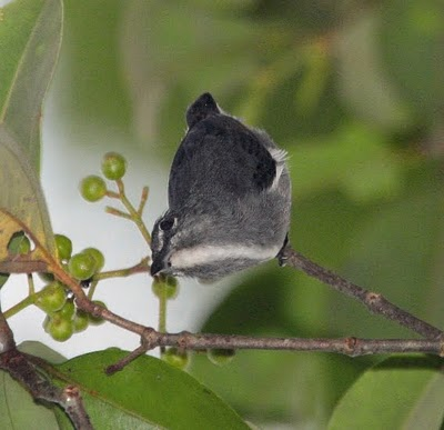 Spectacled Flower Pecker from Borneo. Photograph: Richard Webster of <a href=