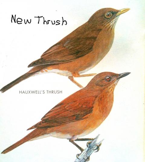 New Thrush in Peru