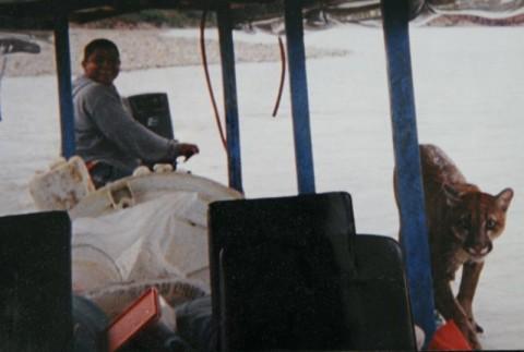 Puma in the canoe in Tambopata river with Antonio Coral