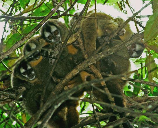 Andean Night Monkey Aotus miconax. Photo Noga Shanee