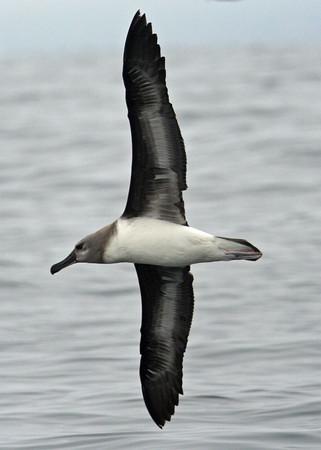 Gray-headed Albatross juv in flight. Photo: Alvaro Jaramillo