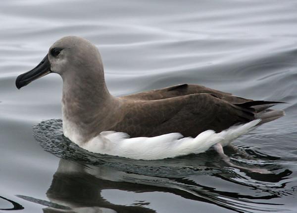 Gray-headed Albatross juv. Valparaiso. Photo: Alvaro Jaramillo