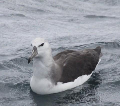 Possible Gray-headed Albatross. Photo Gunnar Engblom
