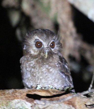 Long-whiskered Owlet. Photo: Shachar Alterman