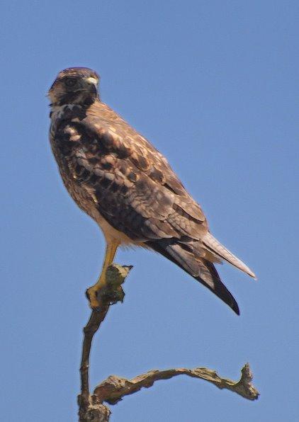 Red-backed Hawk. Photo: Alfredo Fernandez