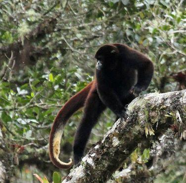 Yellow-tailed Woolly-Monkey Photo: Shachar Alterman