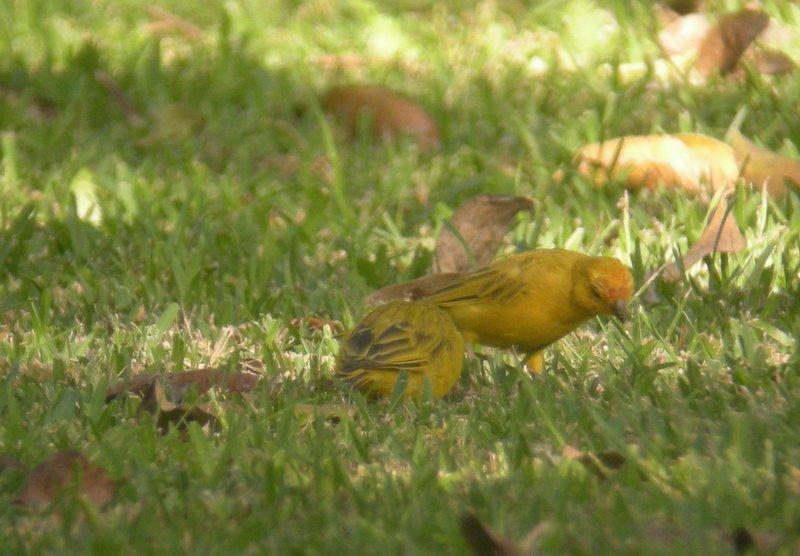 Saffron Finch. Miraflores. Photo Gunnar Engblom