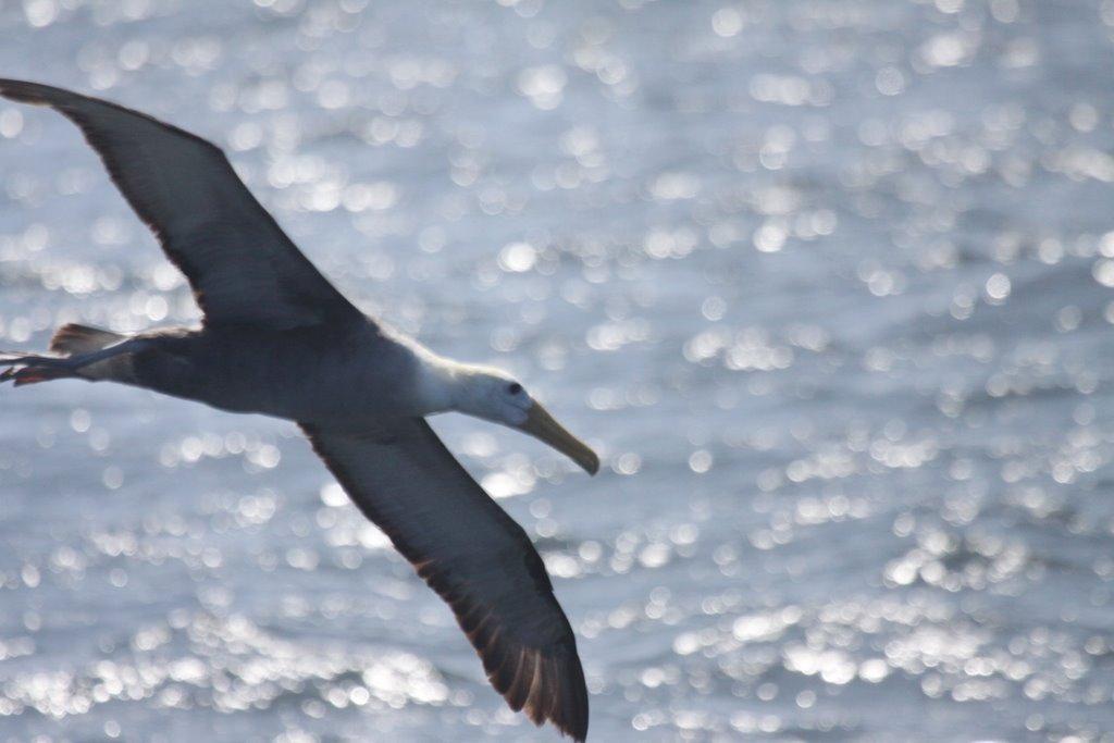 Waved Albatros Photo: Gunnar Engblom