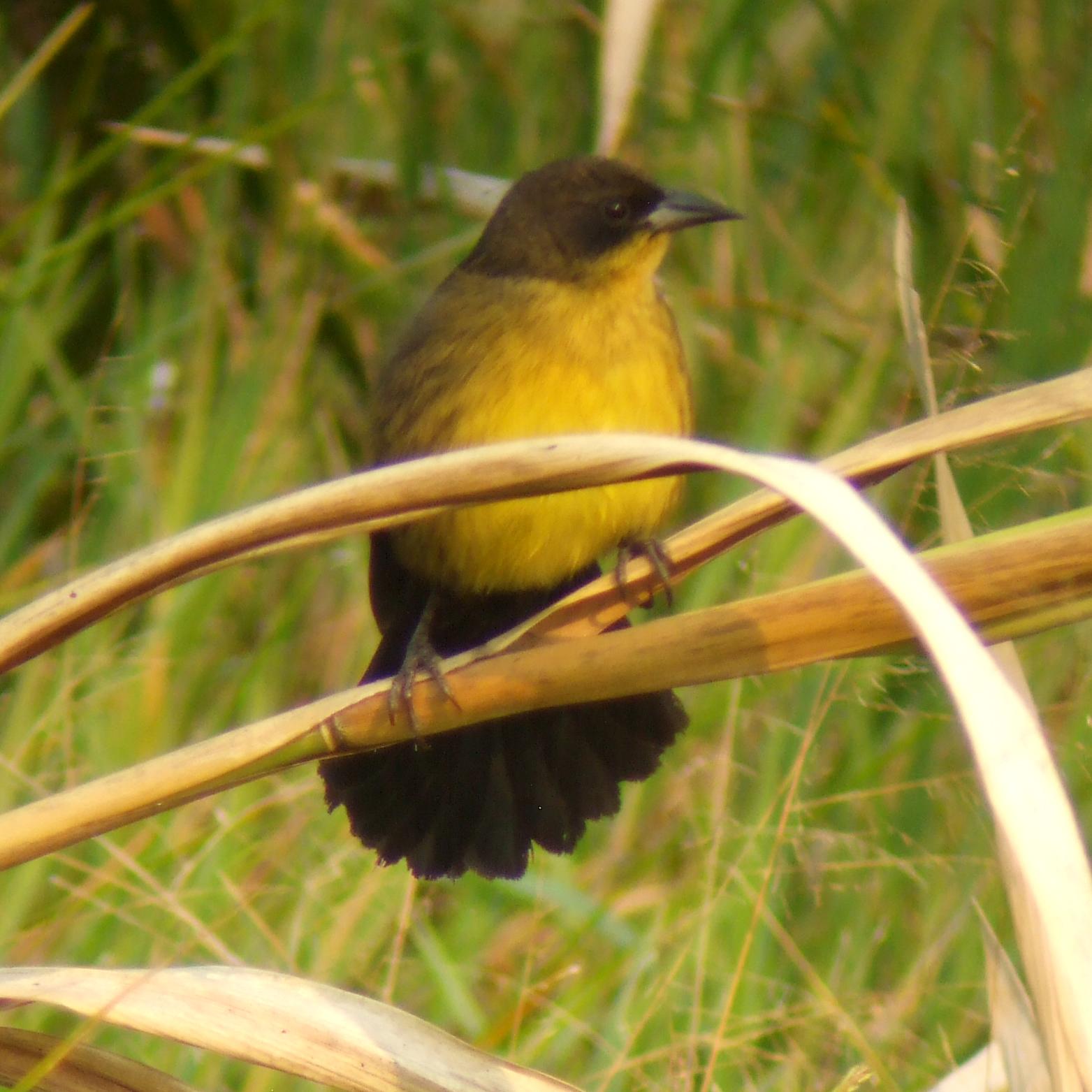 Unicolored Blackbird, female Tres Chimbadas, Tambopata. New for Peru. Photo Alex Duran