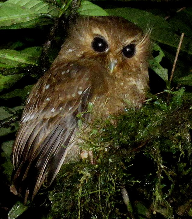 Long-whiskered Owlet - Xenoglaux loweryi. Photo: Rich Hoyer