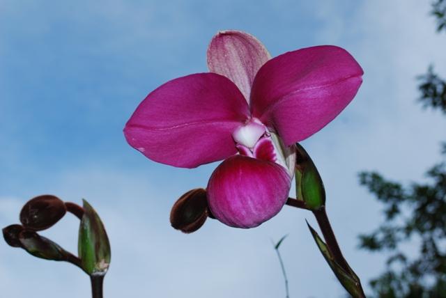 Phragmipedium kovachii shoe-like Orchid. Photo: Marco Leon, Inibico