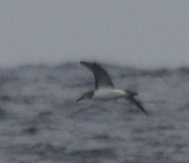 Salvins or Chatham Island ALabtross Sep 25 2010. Photo: GUnnar Engblom