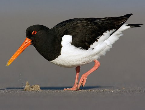European Oystercatcher. Photo: Gyorgy Szimuly