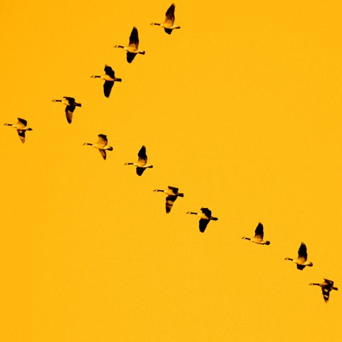 Flying Geese - Denis Collette