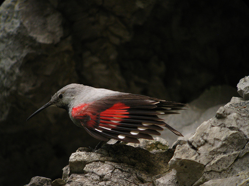 Wallcreeper. Butterfly bird of the Alps. Photo: Dale Forbes