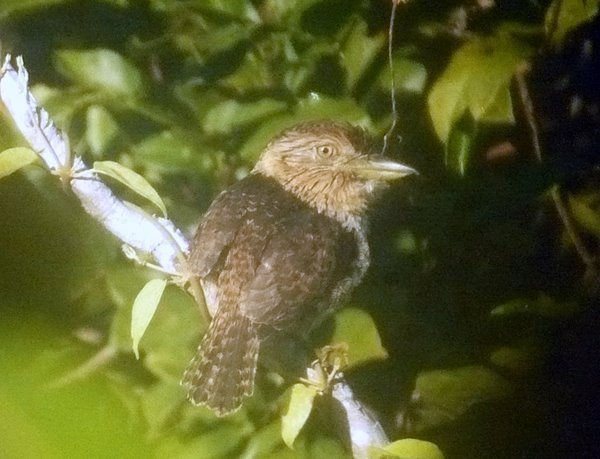 Striolated Puffbird Nystalus striolatus. Digiscoped at Canopy Walkway Reserva Amazonica