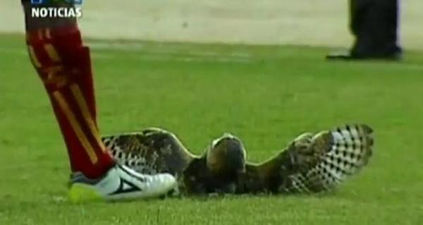 Barn Owl get kicked