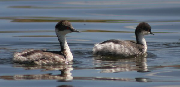 Junin Grebe and Silvery Grebe. Photo: Alejandro Tello