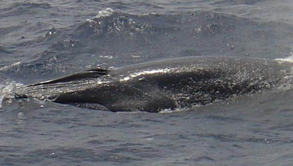 Brydes Whale Balaenoptera edeni