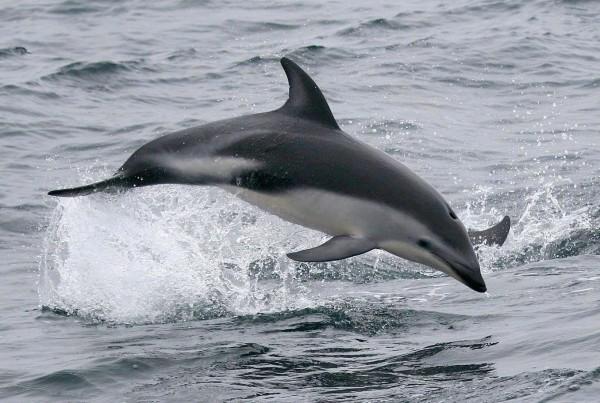 Dusky Dolphin Lagenorhynchus obscurus
