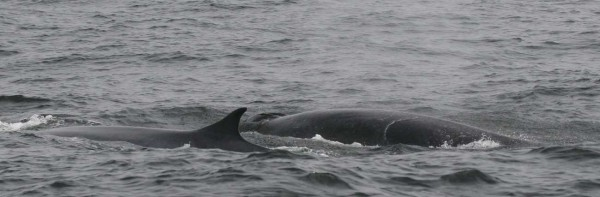 Pygmy Finwhale Peru