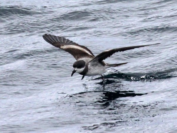 Ringed or Hornby's Storm-Petrel Oceanodroma hornbyi. Photo: GUnnar Engblom