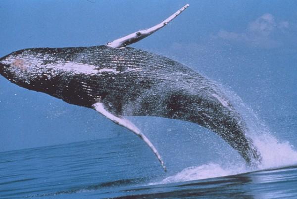 HUmpback Whale wikipedia