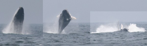 Humpback breaching sequence