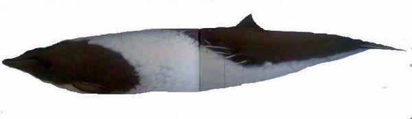 Peruvian Beaked Whale Mesoplodon peruvianus