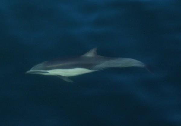 Short-beaked Common Dolphin Delphinus delphis. Photo: Ignacio Garcia Godos