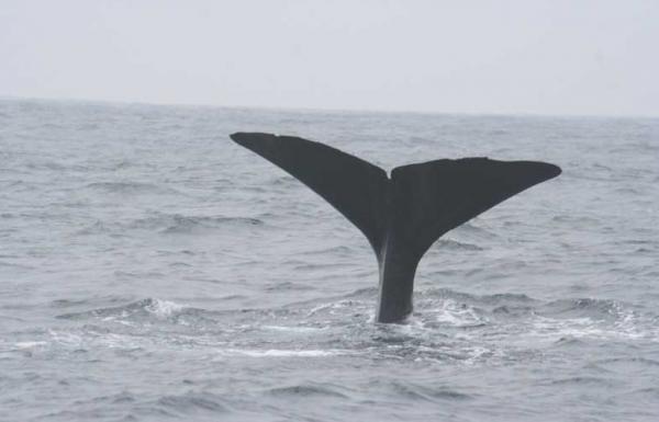 Sperm Whale Physeter macrocephalus Alejandro Tabini