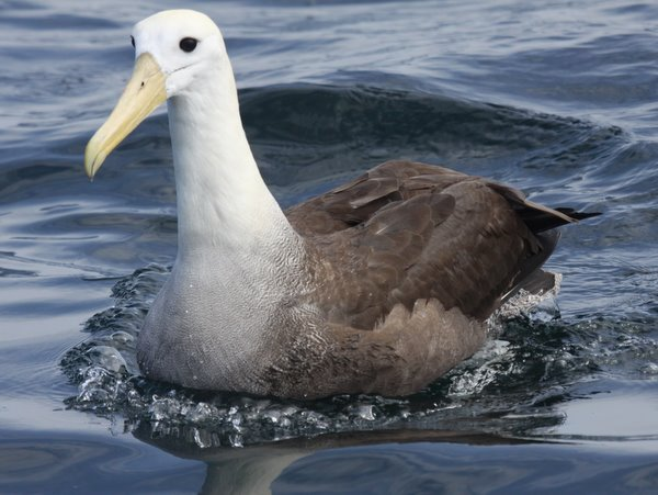Waved Albatross Phoebastria irrorata Peru. Photo: Gunnar Engblom