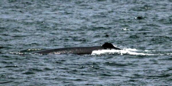 possible Sei Whale - Balaenoptera borialis