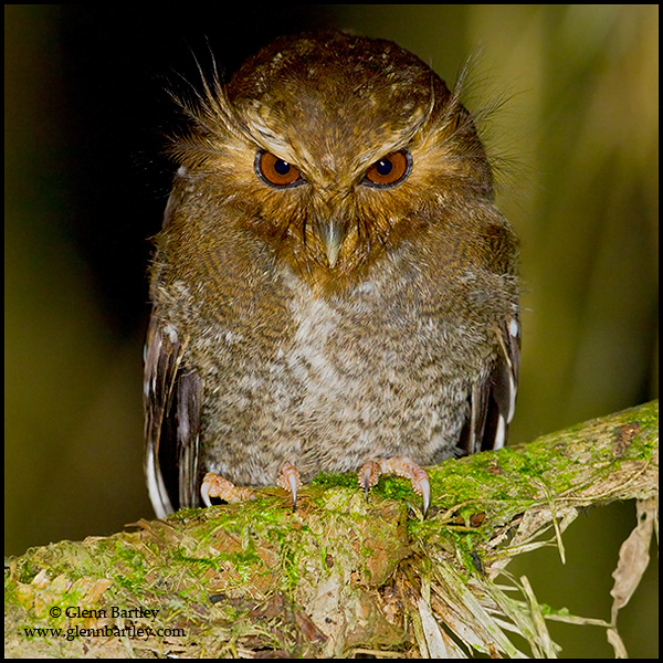 Long-whiskered Owlet by Glenn Bartley