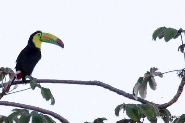 Keel-billed Toucan. Santa Marta Mts, Gunnar Engblom