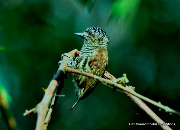 Ecuadorian Piculet Picumnis scaleteri. Photo: Alex Durand
