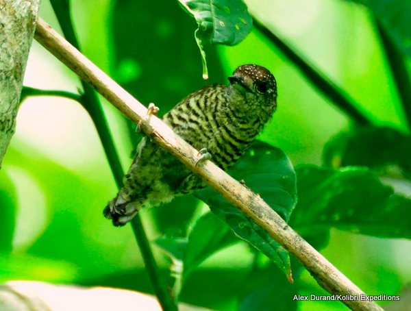Lafresnaye's Piculet Picumnis lafresnayi. Photo: Alex Durand.