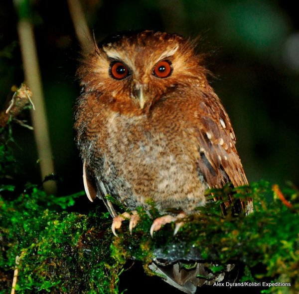 Long-whiskered Owlet Xenoglaux loweryi. Photo: Alex Durand